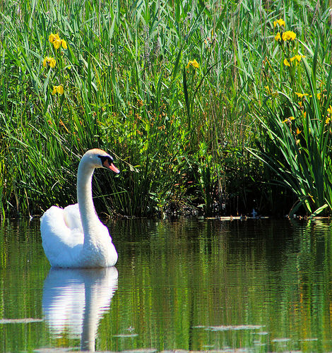 #swan #bird #nature